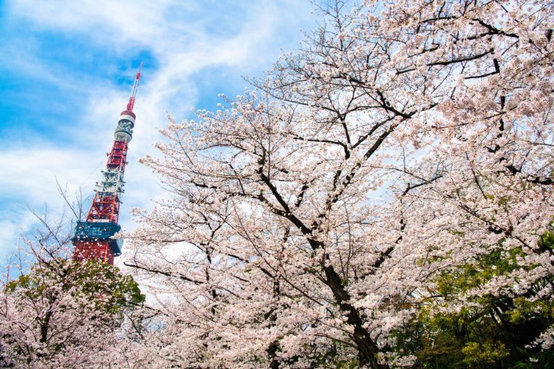 東京鐵塔與櫻花